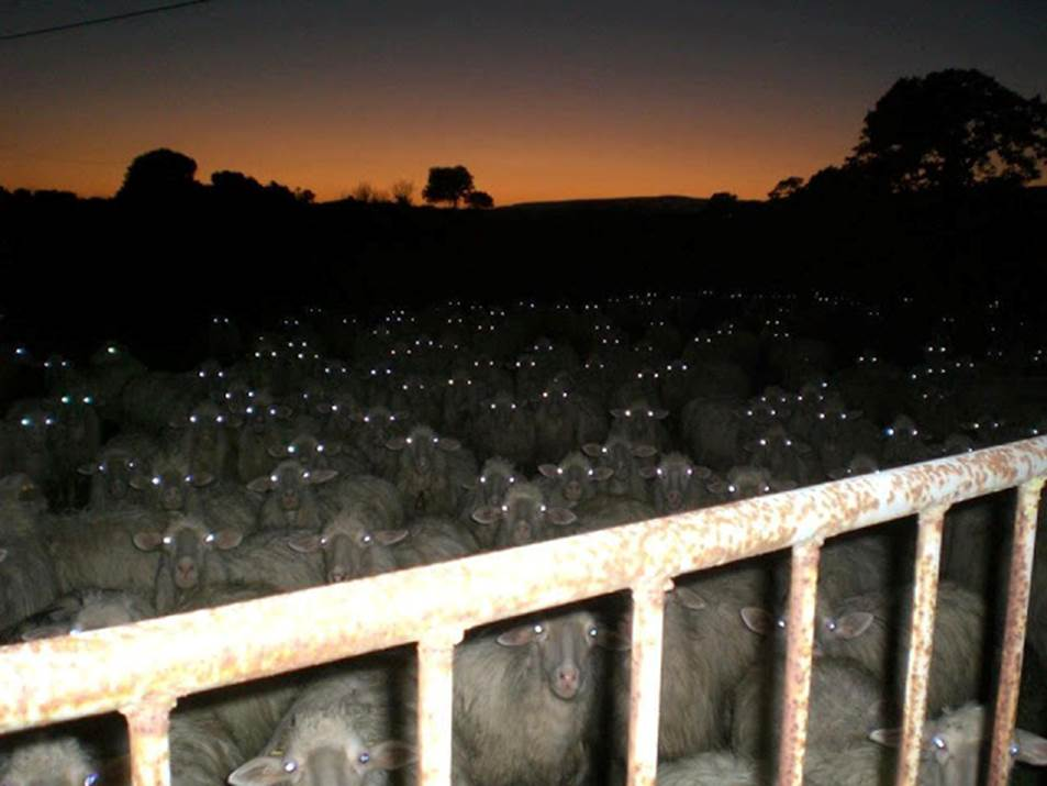 sheepinagug